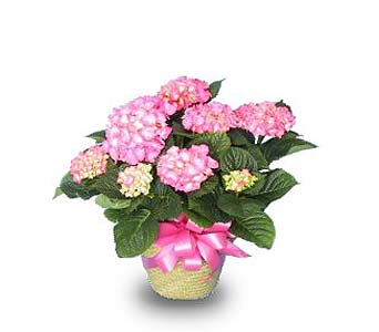GP16 ''Hydrangea Plant'' in Oklahoma City OK, Array of Flowers & Gifts