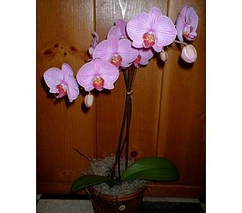 Orchid Plant in Dallas TX, Z's Florist
