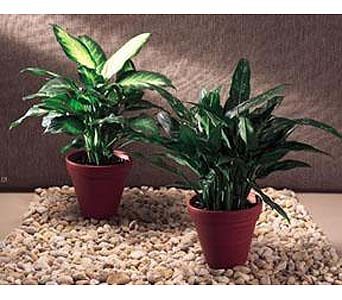 Designers Choice Green Plant in New York NY, CitiFloral Inc.