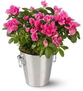 Adorable Azalea in Needham MA, Needham Florist