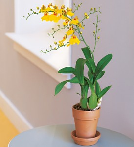 Yellow Oncidium Orchid in Chicago IL, Prost Florist