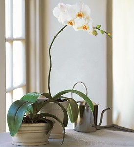White Phalaenopsis Orchid in Chicago IL, Prost Florist