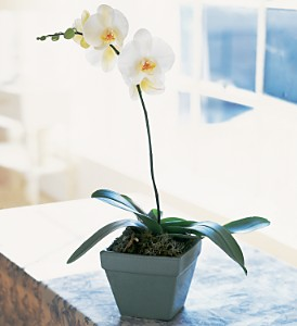 Phalaenopsis Orchid Plant in Chicago IL, Prost Florist