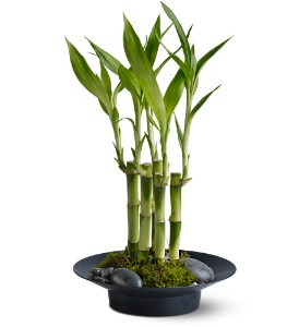 Lucky Bamboo in Las Vegas-Summerlin NV, Desert Rose Florist