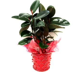 VGP62 ''Rubber Tree'' Green Plant in Oklahoma City OK, Array of Flowers & Gifts