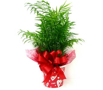 VGP64 ''Valentine's Palm'' Green Plant in Oklahoma City OK, Array of Flowers & Gifts