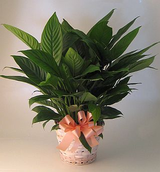 Peace Lily in Salisbury MD, Kitty's Flowers