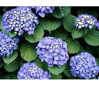 Blue Hydrangea Plant in Abington MA, The Hutcheon's Flower Co, Inc.