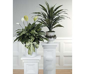Dracena or Peace Lily in Abington MA, The Hutcheon's Flower Co, Inc.