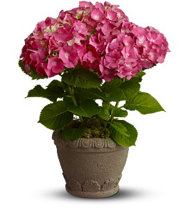 Teleflora's  Heavenly Hydrangea in Little Rock AR, Frances Flower Shop