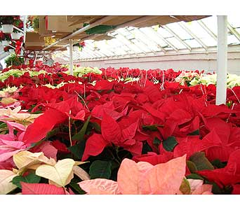 Poinsettia in Brooklyn NY, David Shannon Florist & Nursery