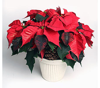 Red Poinsettia in Recreation in Oshkosh WI, House of Flowers