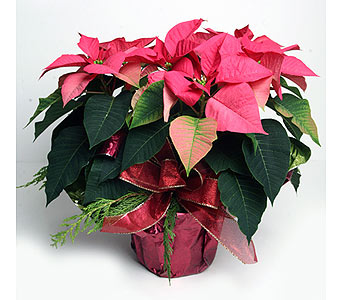 Pink Poinsettia in Foil in Oshkosh WI, House of Flowers