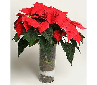 Poinsettia Soilscape in Oshkosh WI, House of Flowers