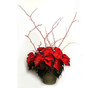 Poinsettia with Branches in Oshkosh WI, House of Flowers