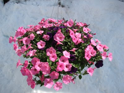 Supertunia Basket in Lewistown MT, Alpine Floral Inc Greenhouse