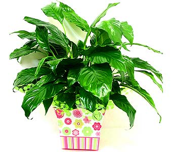 GP65 ''Lively Lime'' Peace Lily in Oklahoma City OK, Array of Flowers & Gifts