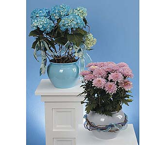Blue Hydrangea in Decorative Pot in West Bloomfield MI, Happiness is...Flowers & Gifts