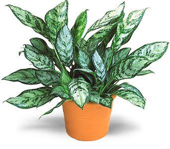 Chinese Evergreen in Covington LA, Florist Of Covington