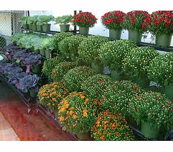 Mum plants in Brooklyn NY, David Shannon Florist & Nursery