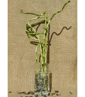 Lucky Bamboo Arrangement in New York NY, CitiFloral Inc.