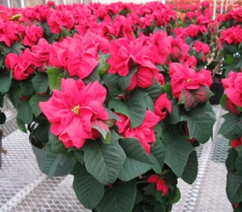 Winter Rose Red Poinsettia in Waukegan IL, Larsen Florist