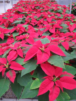 Peterstar Red Poinsettia in Waukegan IL, Larsen Florist