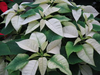 Peterstar White Poinsettia in Waukegan IL, Larsen Florist