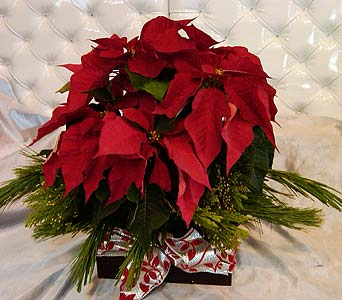 Small Poinsettia in Santa Monica CA, Santa Monica Florist