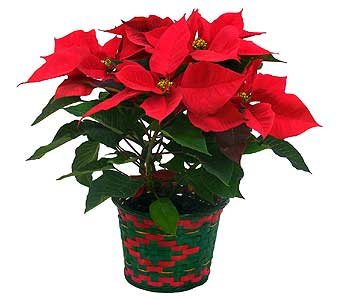 3 Bloom Poinsettia in Mesa AZ, Watson Flower Shops