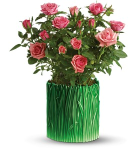 Teleflora's Grass is Greener Pink Rose Bush in McHenry IL, Locker's Flowers, Greenhouse & Gifts