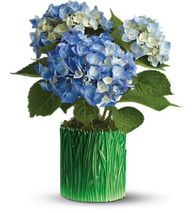 Teleflora's Grass is Greener Blue Hydrangea in Isanti MN, Elaine's Flowers & Gifts