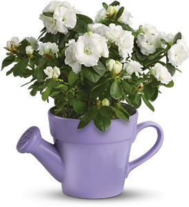 Teleflora's Spring Showers White Azalea in McHenry IL, Locker's Flowers, Greenhouse & Gifts