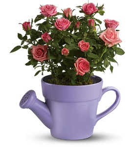 Teleflora's Spring Showers Pink Rose Bush in McHenry IL, Locker's Flowers, Greenhouse & Gifts