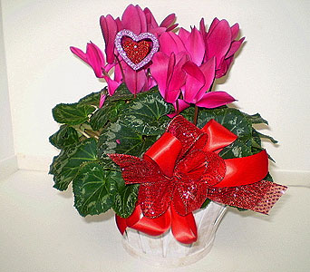 Valentine Cyclamen in Falmouth MA, Falmouth Florist 508-540-2020