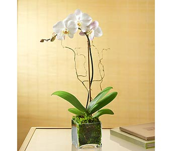 Phalaenopsis Orchid - Color Will Vary in Bradenton FL, Ms. Scarlett's Flowers & Gifts