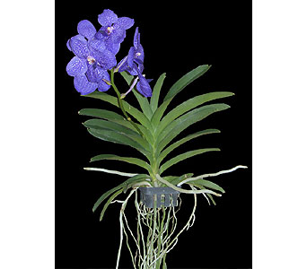 Vanda Orchid in Bradenton FL, Ms. Scarlett's Flowers & Gifts