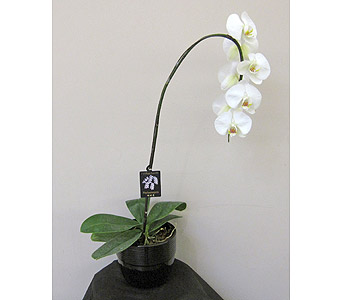 Exquisite Orchid in Saskatoon SK, Carriage House Florists