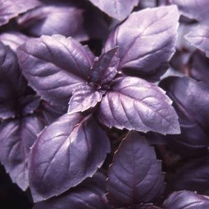 4 in Pot: Basil, Red Rubin in Waukegan IL, Larsen Florist