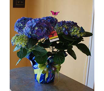 Blue Hydrangea Plant in Hales Corners WI, Barb's Green House Florist