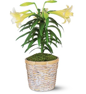 Easter Lily Plant in Kent OH, Richards Flower Shop