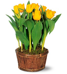 Potted Yellow Tulips in Oconto Falls WI, The Flower Shoppe, Inc