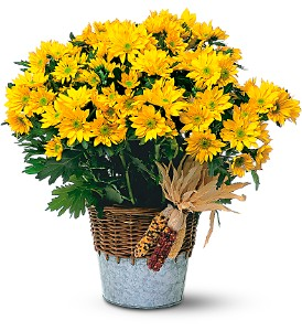 Harvest Yellow Daisy Plant in Oklahoma City OK, Array of Flowers & Gifts