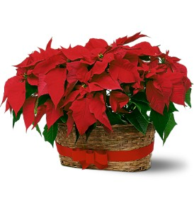 Double Poinsettia Basket in Edmonton AB, Petals For Less Ltd.