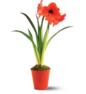 Amaryllis Plant in Asheboro NC, Burge Flower Shop