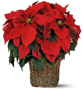 6 inch Poinsettia in Martinsburg WV, Bells And Bows Florist & Gift