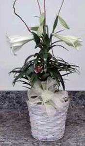 Easter Lily in Naples FL, Gene's 5th Ave Florist