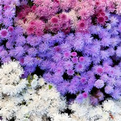 Ageratum - Cloud Nine Mix in Waukegan IL, Larsen Florist