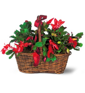Christmas Cactus in Fairfield CT, Town and Country Florist