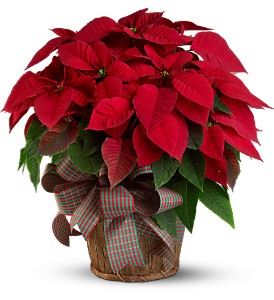 Large Red Poinsettia in Friendswood TX, Lary's Florist & Designs LLC